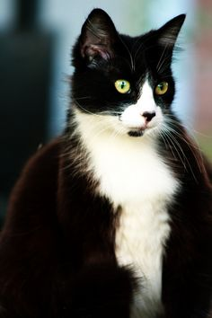 I want this kitty!!!! Pretty black and white! And name him Figerro! Just like in the movie Pinnochio :)