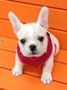 Zoey the French Bulldog