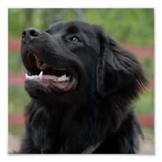 Black Lab Great Pyrenees Mix You Will Be Mine Some Day