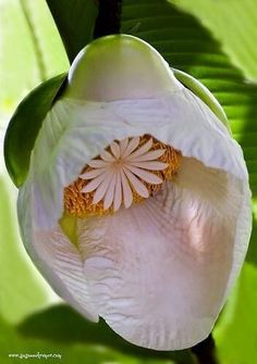 Elephant Apple Flower