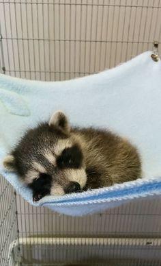 Baby raccoon taking a nap - Imgur