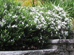 Hebe Odora - Rounded alpine shrub with dark glossy green leaves similar to box hedge. White flowers from spring to autumn. Suitable low hedge. Prefers good drainage but will tolerate damp conditions in cool climates. Mature Height 80cm x Width 80cm  aka Hebe Buxifolia
