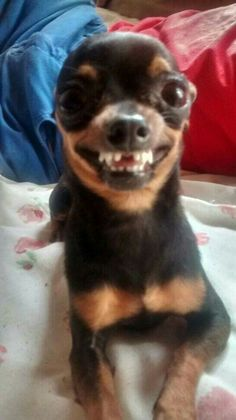 Gracioso Baby Animals Super Cute, Cute Baby Dogs, Cute Little Animals, Cute Puppies, Funny Animal Jokes, Funny Dog Memes, Cute Funny Animals, Cat Memes, Baby Animals Pictures
