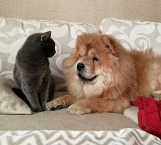 14 Cheerful Chow Chow Pictures Proving That Coronavirus Quarantine Can Be Spent With Positive | PetPress Chow Chow Dogs, Good Mood, Good Movies, Cheer, Cute Animals, Positivity, Canning, Pets, Doggies