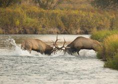 bull elk fighting