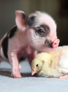 Spring Baby Animals - baby animal photos - Woman And Home Pigs Micro piglet pet pig miniature pig baby pig animals pets baby pigs animal micro pigs videos micropig pet pigs family minipig small funny videos best piggie piggies Baby Animals Pictures, Cute Animal Pictures, Animals And Pets, Baby Farm Animals, Funny Animal Photos, Funny Pet Pictures, Wild Animals, Rare Animals, Happy Animals
