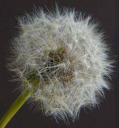 Dandelion 1