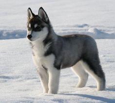 Cute Husky Malamute, Siberian Husky Dog, Husky Puppy, Husky Mix, Alaskan Husky, Baby Animals, Funny Animals, Cute Animals, Beautiful Dogs