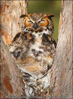 owl and owlet - Bird Photography, © Maxis Gamez, All Rights Reserved.