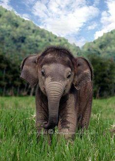 Baby Elephant love the fuzzy head! Cute Creatures, Beautiful Creatures, Animals Beautiful, Cute Baby Animals, Animals And Pets, Funny Animals, Baby Elefant, Elephant Love, Asian Elephant
