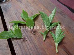 Hortensje - moja ogrodowa miłość ...: Ukorzenianie hortensji z sadzonek zielnych Hydrangea, Herbs, Flowers, Plants, Gardening, Balcony, Lawn And Garden, Hydrangeas, Herb