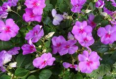 Here are our top picks for shade plants and choosing perennials for shade that bloom all summer long! Easy To Grow Flowers, Growing Flowers, Planting Flowers, Buy Flowers, Hydrangea Petiolaris, Shade Garden Plants, Big Plants, Summer Plants, Shade Perennials