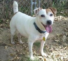 12/07/12  STILL AVAILABLE!   - Riley is an adoptable Jack Russell Terrier Dog in Omaha, NE. About 10 years old. Completely housebroken. Very obedient and loyal. Has had some obedience classes, knows sit, down and shake. Can be arou...