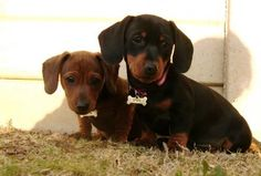 Dachshunds... the best dogs EVER!