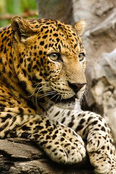 "Deadly Beauty --The leopard (Panthera pardus) is the smallest of the four ""big cats"" in the genus Panthera; the other three are the tiger, lion, and jaguar."