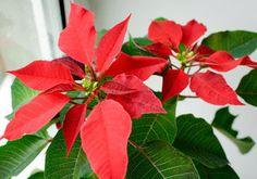Vánoční hvězda vám může vydržet i do dalšího roku Plants, Plant, Planets