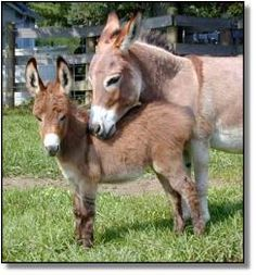 Miniature Donkey - Yeah, there's no way this isn't happening. I'll need one to keep my mini horse company.