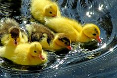 Cutest Baby Animals Ever | Cute Animals: Ducklings and Swan Babies