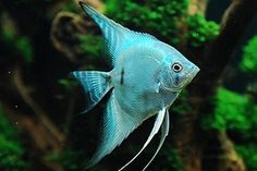 ♥ Pet Fish Stuff ♥ blue angelfish - always wanted to try some angelfish, but they do grow fairly large (vertically) and are known to be pretty aggressive Tropical Fish Aquarium, Tropical Freshwater Fish, Freshwater Aquarium Fish, Aquarium Fish Tank, Fish Tanks, Goldfish Aquarium, Pretty Fish, Beautiful Fish, Underwater Creatures