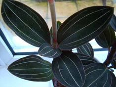 The Jewel Orchid has dark green leaves