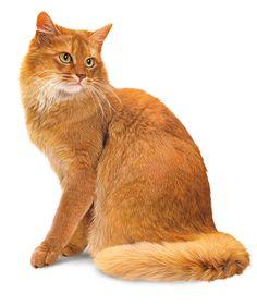 Gato Somali http://caollma1.empowernetwork.com/blog/mis-amigos-los-gatos