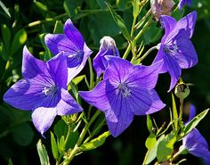 Purple Glory by Misty Dawn Seidel (Misty DawnS Photography) Misty Dawn, Blue Flowers, Google Search, Purple, Plants, Photography, Photograph, Fotografie, Photoshoot
