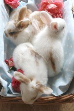 cute fluffy little white baby bunny bunnies with diddy ears .. adorable!