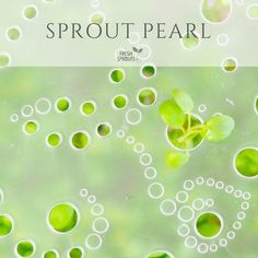 SproutPearl sprouter logo in lid from FRESH SPROUTS