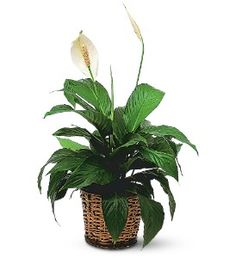 Small Spathiphyllum Plant  Item TF133-2