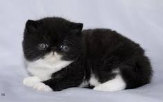 Image result for exotic shorthair kittens