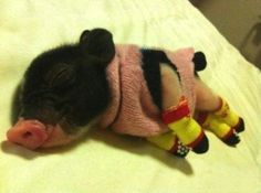 He's Nice And Warm In His Pigjamas cute animals adorable animal baby animals pig pigs funny animals Cute Baby Animals, Funny Animals, Smart Animals, Kids Animals, Sock Animals, Nature Animals, Tiny Pigs, Teacup Pigs, Photo Chat