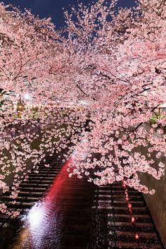 SAKURA(Cherry blossom) / Meguro river, Tokyo