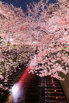 Flores de #Cerejeira sobre o rio #Meguro em #Tóquio.