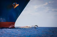 A brave group of dolphins jump gleefully above the waves right in front of a giant 73,000 ton German container ship
