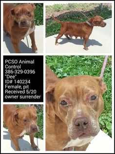 """URGENT """"Dee"""" #Adoptable #OwnerSurrender 5-20-14 #Palatka #FL ID# 140234 Female #Pitbull Loves attention Very affectionate PCSO ANIMAL CONTROL 386-329-0396 https://m.facebook.com/story.php?story_fbid=721893404540215&substory_index=0&id=519613888101502"""