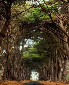 Cyprus tree way to the Historic RCA building Point Reyes National Seashore, California