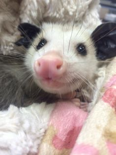 Orphaned 'possum' being totally loved and spoiled. Per Wikipedia...The Virginia opossum (Didelphis virginiana), commonly known as the North American opossum, is the only marsupial found in North America.