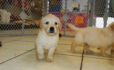 Pin By Susan Gillis On Help Save The Dogs Please 2nd Pg Retriever Puppy Retriever Puppies