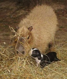Cheesecake, a capybara, fosters puppies living at Wolf's Rocky Ridge Refuge in Arkansas. 2