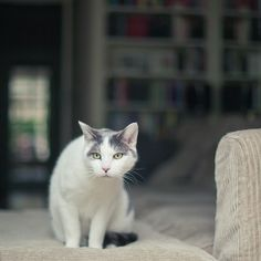White And Grey Cat On Couch Looking At Birds