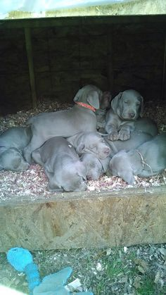We're pooped. Pile of Weimaraner puppies, nothing any cuter in the whole world!
