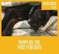 When you bring home your new puppy, it's important to immediately begin to establish trust, security, and consistency. Here are a few tips for the first few days.