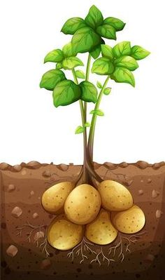 Potatoes plant under the ground illustration Fruit And Veg, Fruits And Vegetables, Veggies, Plant Lessons, Vegetable Crafts, Early Childhood Centre, Garden Mural, Preschool Learning Activities, Plant Science