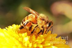 Bee's Tongue  Photography For Sale