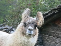 Image result for woolly llama Yahoo Images, Image Search, Llamas, Animals, Animaux, Animal, Animales, Animais