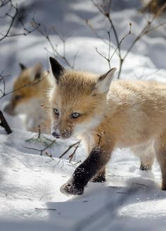 Red Fox Cubs by Chantal Pimparé