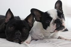 Frenchie love #brothers #puppy