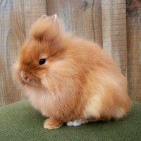 Lionhead rabbit nicely groomed