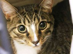 TO BE DESTROYED 3/6/15 *NYC* CUTE YOUNG GUY! * Brooklyn Center * Owner stated Frankie likes to cuddle and sweet. His activity level is to a medium. He likes to play with balls and strings. Poor Frankie is terrified in the shelter and needs out now! Please help save Frankie tonight!!! * My name is FRANKIE. My Animal ID # is A1029082. I am a male brn tabby and white domestic sh mix. I am about 2 YEARS old. OWNER SUR on 02/28/2015 from NY 11221, ALLERGIES.