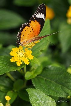 An Orange Lacewing Butterfly, also known by its scientific name of Cethosia penthesilea. This exotic butterfly originates from South East Asia and Australia's northern territory, but is pictured here, feeding on a Lantana flower, inside the Butterfly Dome, at the RHS Hampton Court Palace Flower Show 2017.